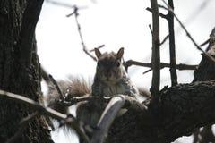 Μόντρεαλ écureuil squirre Στοκ Φωτογραφία