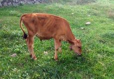 Μόσχος αγελάδων που τρώει τη χλόη Καφετής μόσχος αγελάδων στοκ εικόνες με δικαίωμα ελεύθερης χρήσης