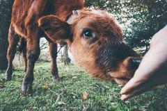 Μόσχος αγελάδων που τρώει από το χέρι ατόμων Στοκ φωτογραφίες με δικαίωμα ελεύθερης χρήσης