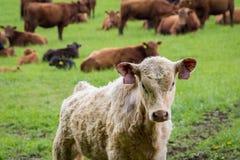 Μόσχος και αγελάδες στο λιβάδι Στοκ φωτογραφία με δικαίωμα ελεύθερης χρήσης