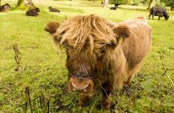 Μόσχος ορεινών περιοχών με άλλα βοοειδή Στοκ εικόνες με δικαίωμα ελεύθερης χρήσης