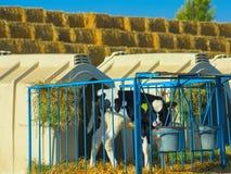 Μόσχος στο αγρόκτημα Στοκ Εικόνες