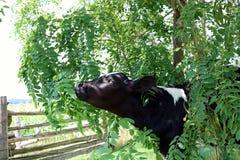 Μόσχος του Χολστάιν που φθάνει στα φύλλα δέντρων ακρίδων μυρωδιάς στοκ εικόνα