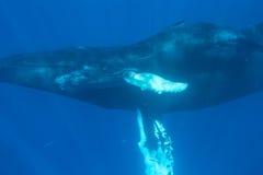 Μόσχος φαλαινών Humpback με τη μητέρα Στοκ Εικόνες