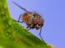 μύγα άσχημη Στοκ Εικόνες