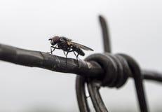 Μύγα έτοιμη να επιτεθεί Στοκ Εικόνες