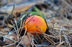 Μύγα-αγαρικό σε ένα δάσος πεύκων Στοκ Φωτογραφία