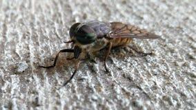 Μύγα αλόγων Στοκ Φωτογραφίες