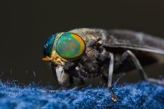 Μύγα αλόγων Στοκ φωτογραφία με δικαίωμα ελεύθερης χρήσης