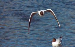 Μύγα-από μαυροκέφαλα Seagulls στοκ εικόνες
