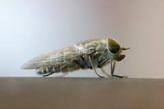 Μύγα αλόγων Στοκ εικόνα με δικαίωμα ελεύθερης χρήσης