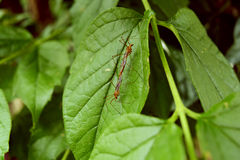 Μύγα γερανών σε ένα πράσινο φύλλο Στοκ Εικόνες
