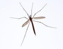 μύγα γερανών Στοκ εικόνες με δικαίωμα ελεύθερης χρήσης
