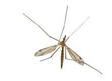 μύγα γερανών Στοκ φωτογραφία με δικαίωμα ελεύθερης χρήσης