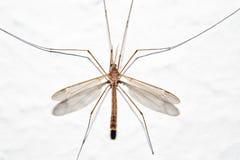 μύγα γερανών Στοκ Εικόνα