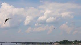 Μύγα γλάρων πέρα από το νερό του ποταμού με τη γέφυρα στη θερινή ηλιόλουστη ημέρα φιλμ μικρού μήκους