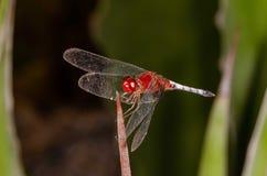 Μύγα δράκων στοκ εικόνα