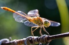 μύγα δράκων Στοκ Φωτογραφίες