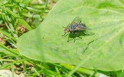 Μύγα εντόμων Στοκ Φωτογραφία