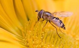 μύγα κίτρινη Στοκ φωτογραφία με δικαίωμα ελεύθερης χρήσης