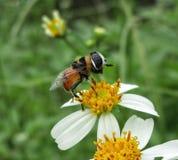 Μύγα και λουλούδι Στοκ φωτογραφία με δικαίωμα ελεύθερης χρήσης
