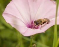 Μύγα κηφήνων στη δόξα Saltmarsh πρωινού στοκ εικόνες με δικαίωμα ελεύθερης χρήσης