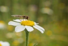 Μύγα κηφήνων στο λουλούδι tomentosa Camomilla στοκ φωτογραφία με δικαίωμα ελεύθερης χρήσης