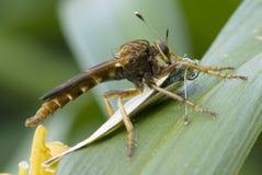 Μύγα ληστών με την πεταλούδα λάχανων Στοκ Εικόνες