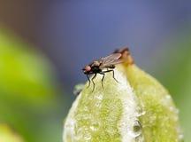 μύγα λουλουδιών οφθαλμών Στοκ φωτογραφία με δικαίωμα ελεύθερης χρήσης