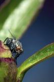 μύγα λουλουδιών οφθαλ&mu Στοκ εικόνα με δικαίωμα ελεύθερης χρήσης