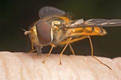 μύγα λουλουδιών Στοκ φωτογραφία με δικαίωμα ελεύθερης χρήσης
