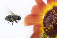μύγα λουλουδιών Στοκ Εικόνα