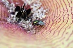 μύγα λουλουδιών carrion χτυπήμ&al Στοκ εικόνες με δικαίωμα ελεύθερης χρήσης