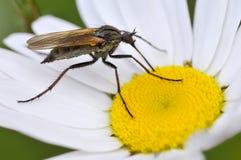 μύγα λουλουδιών empis μαργα&rh Στοκ φωτογραφίες με δικαίωμα ελεύθερης χρήσης