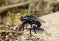 Μύγα - μακρο φωτογραφία Στοκ εικόνες με δικαίωμα ελεύθερης χρήσης