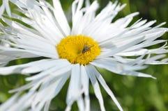 μύγα μαργαριτών Στοκ Φωτογραφία