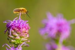 Μύγα μελισσών που στέκεται/που σκαρφαλώνει στο πορφυρό καμμένος αστέρι στα λιβάδια της περιοχής άγριας φύσης λιβαδιών Crex στο βό στοκ φωτογραφία με δικαίωμα ελεύθερης χρήσης