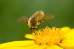μύγα μελισσών Στοκ Φωτογραφίες