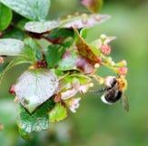Μύγα μελιού Στοκ εικόνες με δικαίωμα ελεύθερης χρήσης