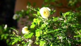 Μύγα μελισσών μελιού στο ροδαλό θάμνο στο ηλιοβασίλεμα απόθεμα βίντεο
