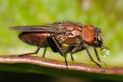 Μύγα με τη φυσαλίδα Στοκ Φωτογραφία
