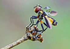 Μύγα με τις απελευθερώσεις του νερού Στοκ Φωτογραφίες