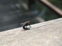 Μύγα - μπορείτε να δείτε τις λεπτομέρειες στοκ εικόνα