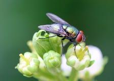 μύγα μπουκαλιών πράσινη στοκ φωτογραφία με δικαίωμα ελεύθερης χρήσης