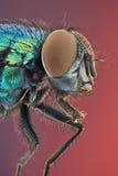 Μύγα μπουκαλιών Στοκ Φωτογραφία