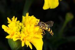 Μύγα λουλουδιών Μακροεντολή Στοκ Εικόνα