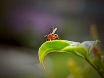 Μύγα οδοκαθαριστών στοκ εικόνες