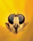 Μύγα δολοφόνων στοκ φωτογραφίες