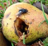 Μύγα πέρα από τη σφήκα Στοκ φωτογραφίες με δικαίωμα ελεύθερης χρήσης