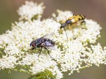 Μύγα πέρα από το άσπρο λουλούδι στοκ φωτογραφία